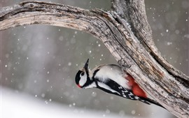 Preview wallpaper Woodpecker, snowy, tree