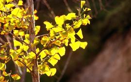 Feuilles d'abricot jaunes, soleil