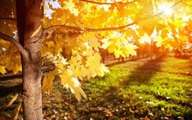 Vorschau des Hintergrundbilder Gelbe Ahornblätter, Baum, Sonnenschein