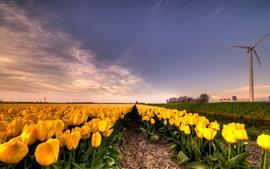 Tulipas amarelas, campo de flores, moinho de vento