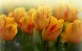Tulipanes amarillos, brumoso