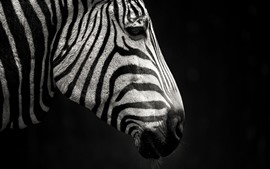 Preview wallpaper Zebra, side view, black background