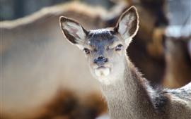 Animal, corça, veado, olha, orelha