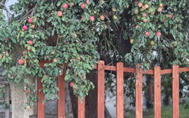 Apple tree, many apples, fence