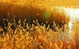 Preview wallpaper Autumn, golden reeds, swamp