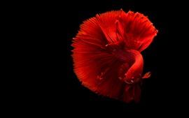 Peixe vermelho lindo, cauda, fundo preto