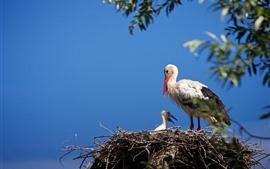 Vorschau des Hintergrundbilder Vögel, Störche, Familie