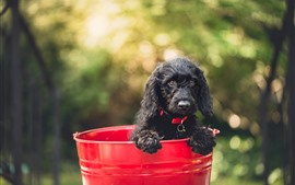 Preview wallpaper Black puppy, red bucket