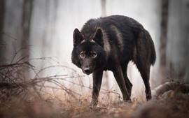 Черный волк смотрит на тебя, лес