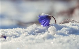 Preview wallpaper Blue flower, primrose, snow, winter