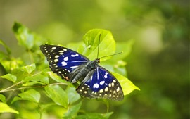 Preview wallpaper Blue wings butterfly, green leaves