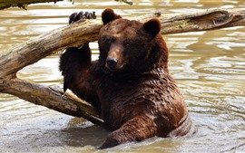 Brown bear bathing in water