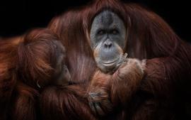 Brown orangutan