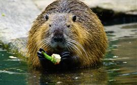Coypu едят пищу