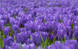 Preview wallpaper Crocuses fields, purple flowers