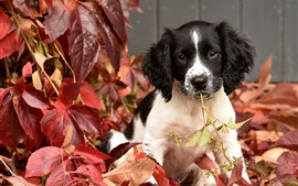Preview wallpaper Cute puppy, red leaves, autumn