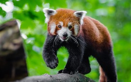 Preview wallpaper Cute red panda, green background