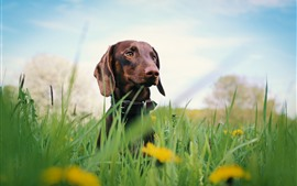 Dachshund, cachorro, grama