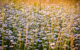 Preview wallpaper Daisies flowers field