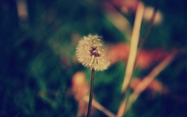 Preview wallpaper Dandelion, flower, plants