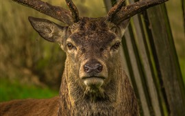 Deer front view, nose, horn, head