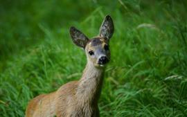 미리보기 배경 화면 사슴, 봐, 푸른 잔디