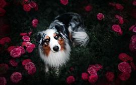 Dog look up, pink peony, hazy