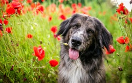 Dog, red poppies