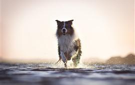 Cachorro correndo, respingos de água