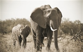 Preview wallpaper Elephant, family, tusk, grass