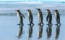 Emperor penguin, team, walking, sea