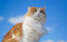 Preview wallpaper Fluffy cat, blue sky