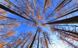 Floresta, árvores, céu azul, paisagem da natureza