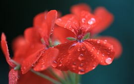 Preview wallpaper Geranium, red flowers, water droplets