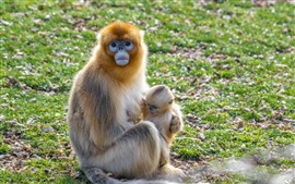 Golden Monkey mother and baby