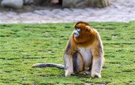 Macaco dourado, grama, chão
