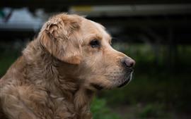 Golden retriever, vista lateral, cabeça, marrom