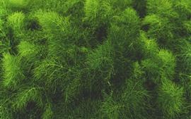 미리보기 배경 화면 푸른 잔디, 식물