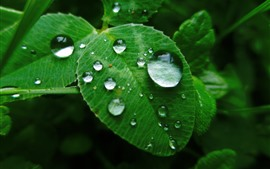 Green leaves, water droplets
