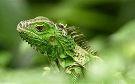 Зеленая ящерица, игуана, голова, туманная