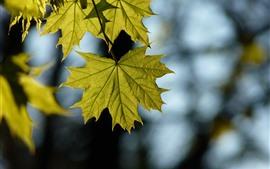 Зеленые кленовые листья, блики