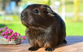Preview wallpaper Guinea pig, cute pet