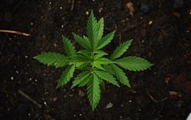 麻の緑の葉