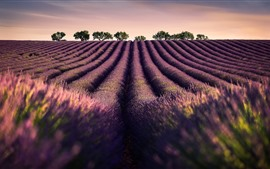 Preview wallpaper Lavender fields, flowers