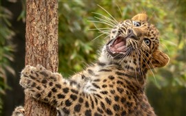 Árvore de escalada de leopardo, rugido
