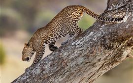 Leopardo descer