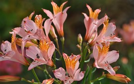 Preview wallpaper Lilies, alstroemeria, pink flowers