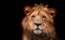 Vista frontal del león, cara, fondo negro.
