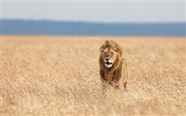 Leão, savana, grama