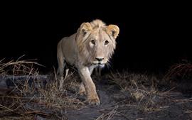 Leão andando à noite